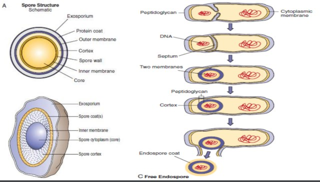 Bacterial spore bacterial Structure