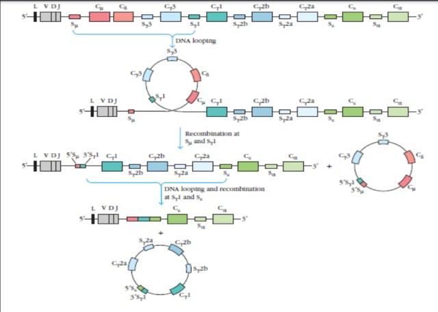 class switching Immunoglobulin