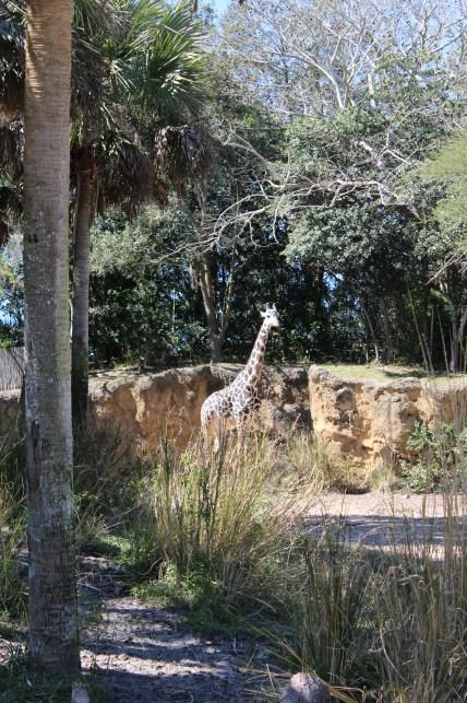 Giraffe seen during the safari