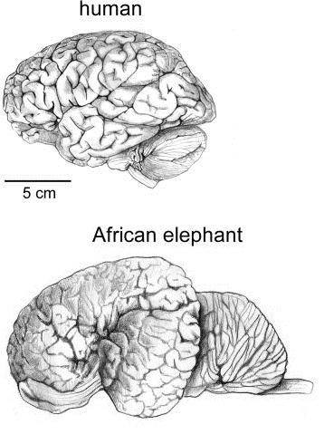 Brain Size and Intelligence