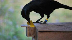 crow intelligence neurologica blog