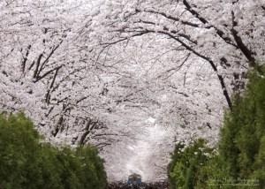 Cherry Blossom, Jinhae, South Kore