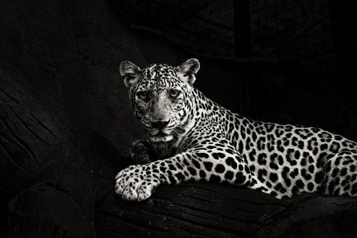 jaguar_optimized