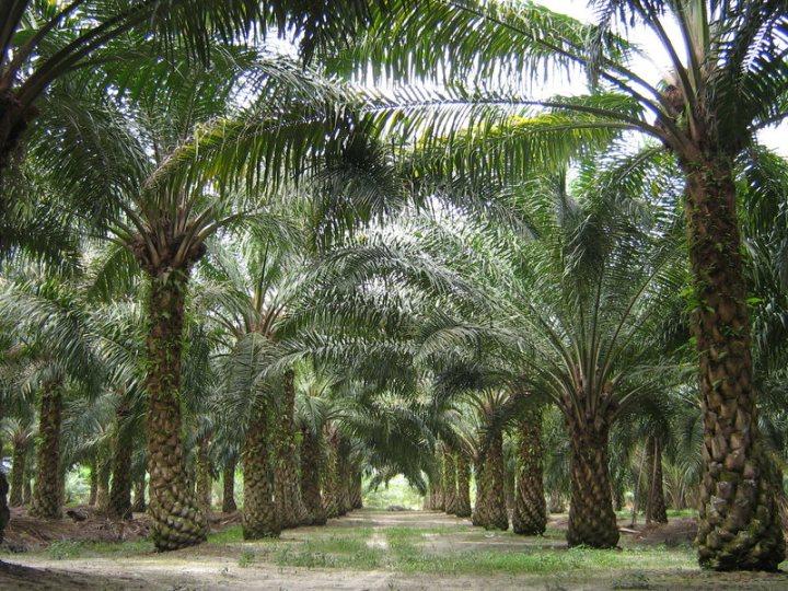 Oilpalm_malaysia_optimized