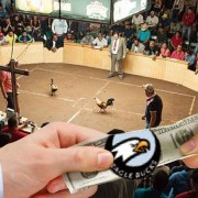 Underground Cockfighting Ring Now Accepts Eagle Bucks