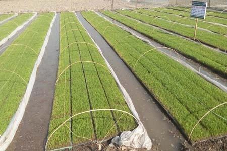 sapling production