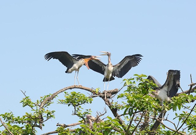 Endangered Greater Adjutant Stork