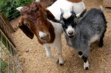 Goats and Farms Want Those Old Christmas Trees