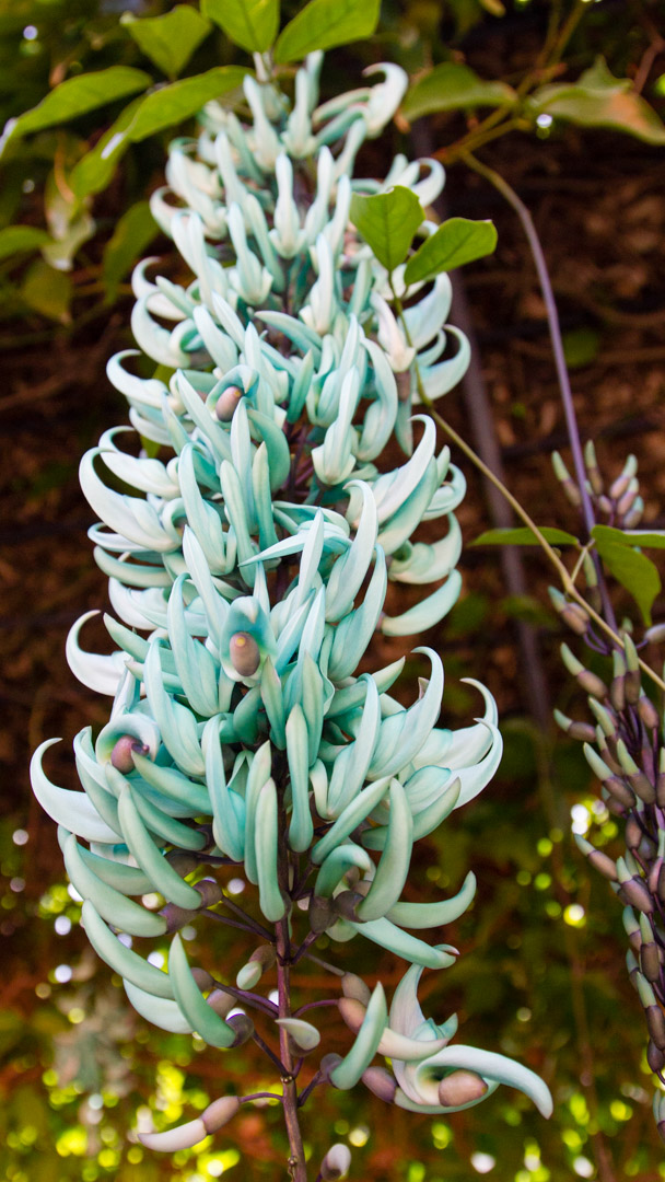 Jade vine hangs at RF Orchids.