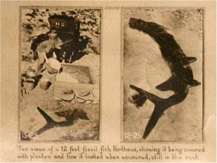 June 1925: Xiphactinus in field. The fossil was collected in three slabs. The curved tail was moved into the correct position.