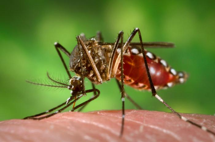 Aedes aegypti, or Yellow fever mosquito, larvae are found in all Florida counties in containers that hold standing water around the home and yard. They are a vector of dengue and chikungunya viruses. (CDC photo)