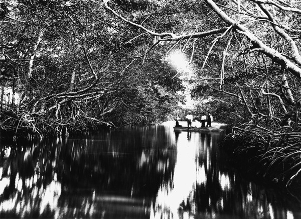 Mangrove trees in 1916. (Courtesy of State Archives of Florida, Florida Memory)