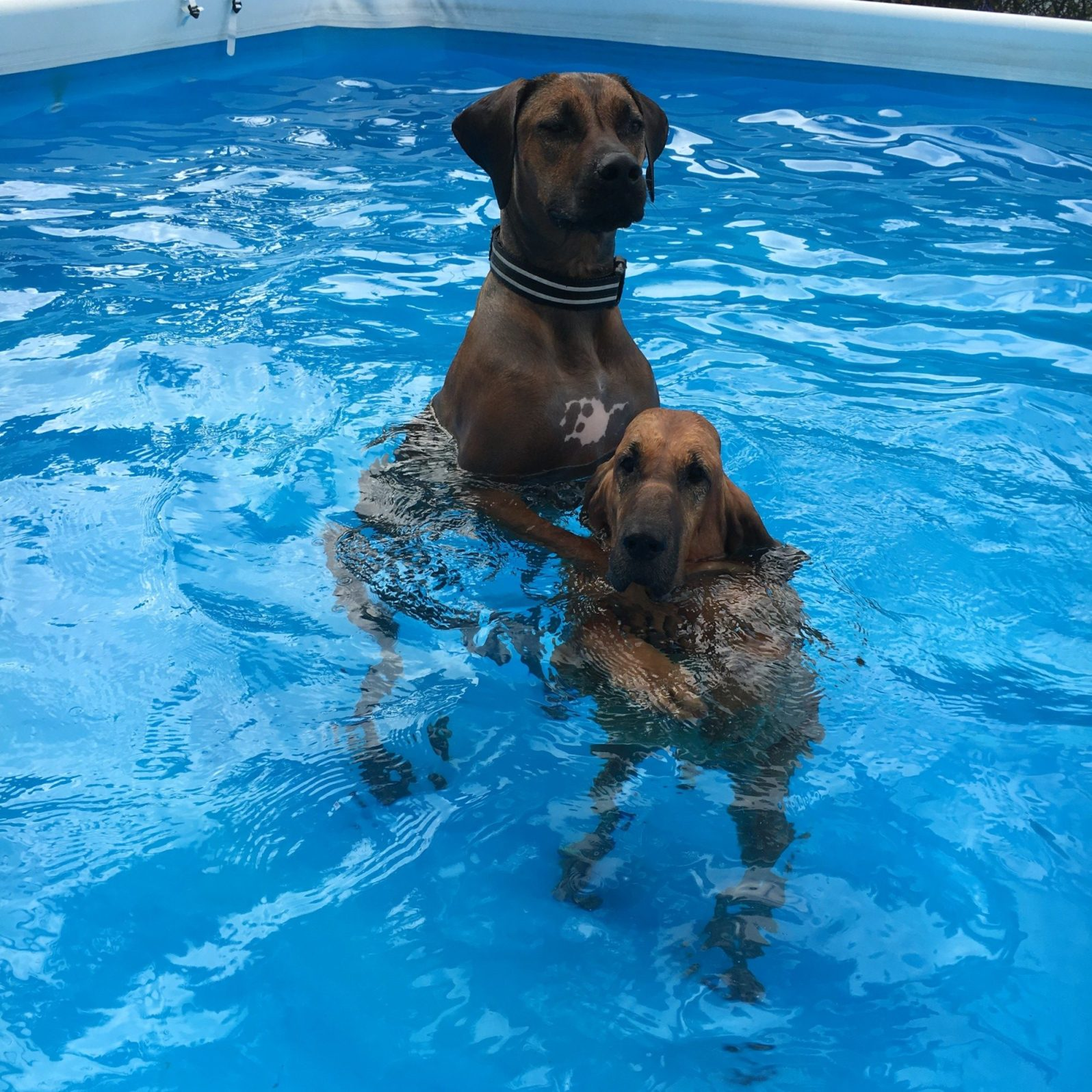 Dogs playing chicken in the pool (Courtesy of Barkhaus)