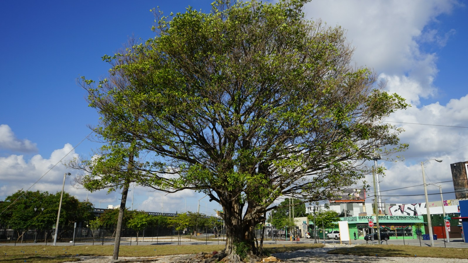 Banyan tree at the intersection of 13th St. and North Miami Avenue (Credit: Roshan Nebhrajani/The New Tropic)