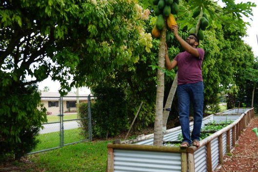 Patel picks papaya from his tree in his backyard farm. (Credit: Roshan Nebhrajani/The New Tropic)