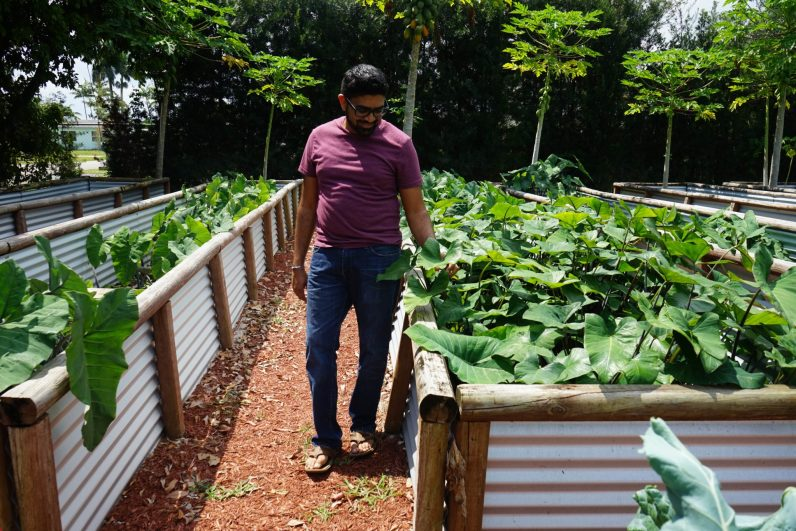 Patel stands by a bed of taro leaves in his backyard farm/ (Credit: Roshan Nebhrajani/The New Tropic)
