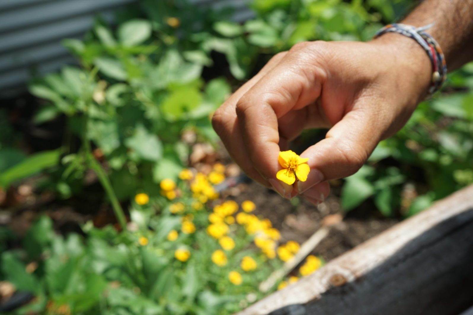 Patel grows tarragon, an herb in the sunflower family, in his backyard. The flower is edible. (Credit: Roshan Nebhrajani/The New Tropic)