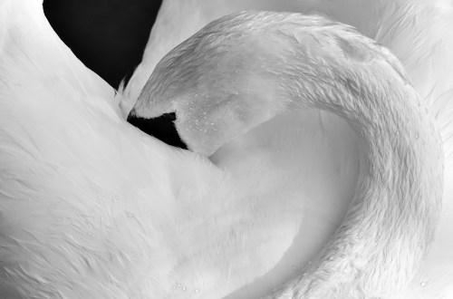 лебед като символ на доброта