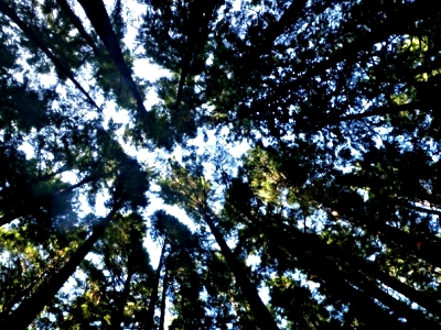 Trees - Expedition Clayoquot