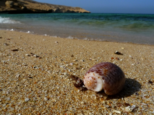 Shell on Qantab beach, Muscat