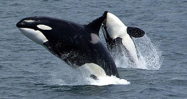 female-killer-whales