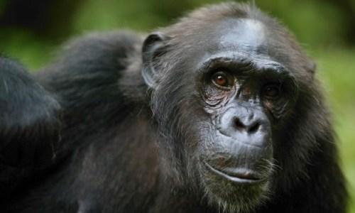endangered-chimpanzee