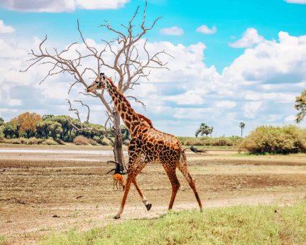 Giraffe African Safari