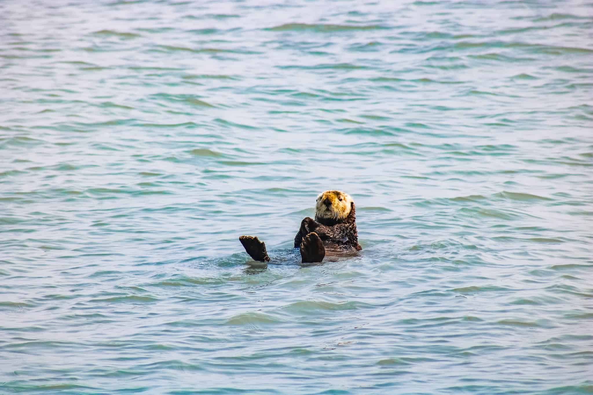 Floating Otter on Pursuit Collection Cruise Kenai Fjord Alaska - The Next Trip