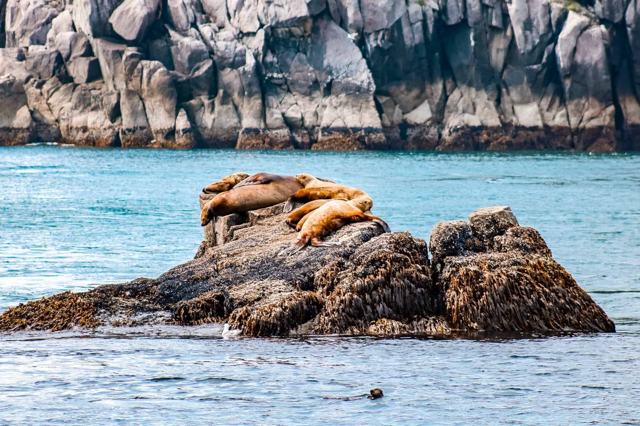 Sea Lions and Otter on Pursuit Collection Cruise Kenai Fjord Alaska - The Next Trip
