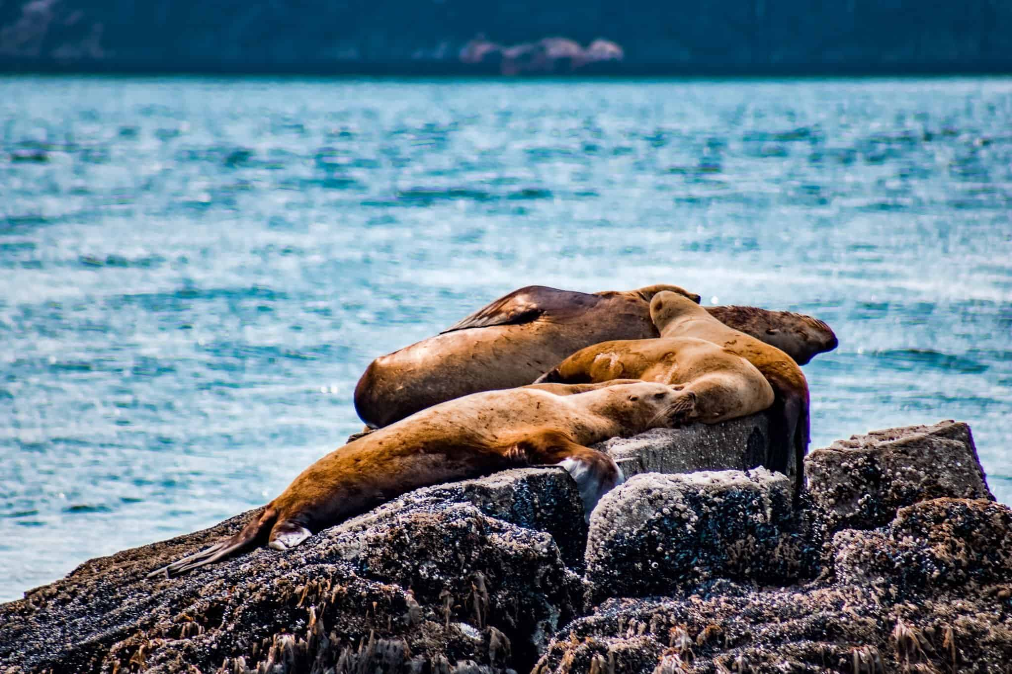 Sea Lions on Pursuit Collection Cruise Kenai Fjord Alaska - The Next Trip