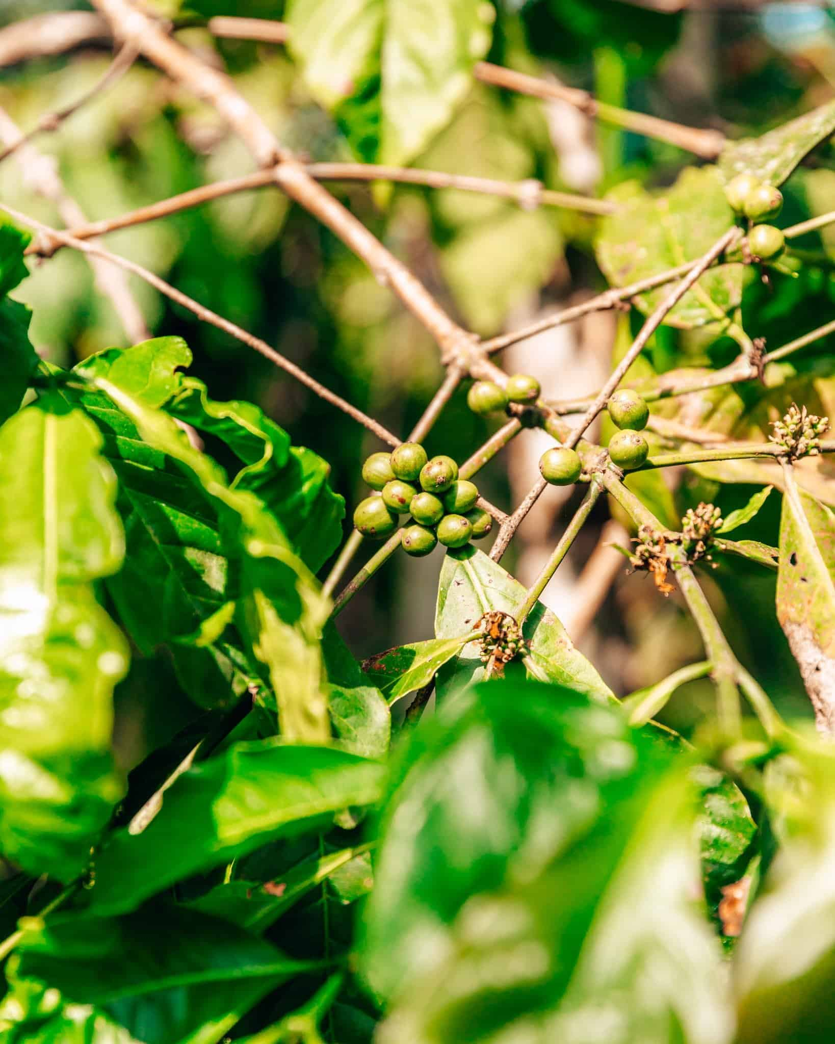 Coffee Plant at Munduk Moding Plantation Bali - The Next Trip