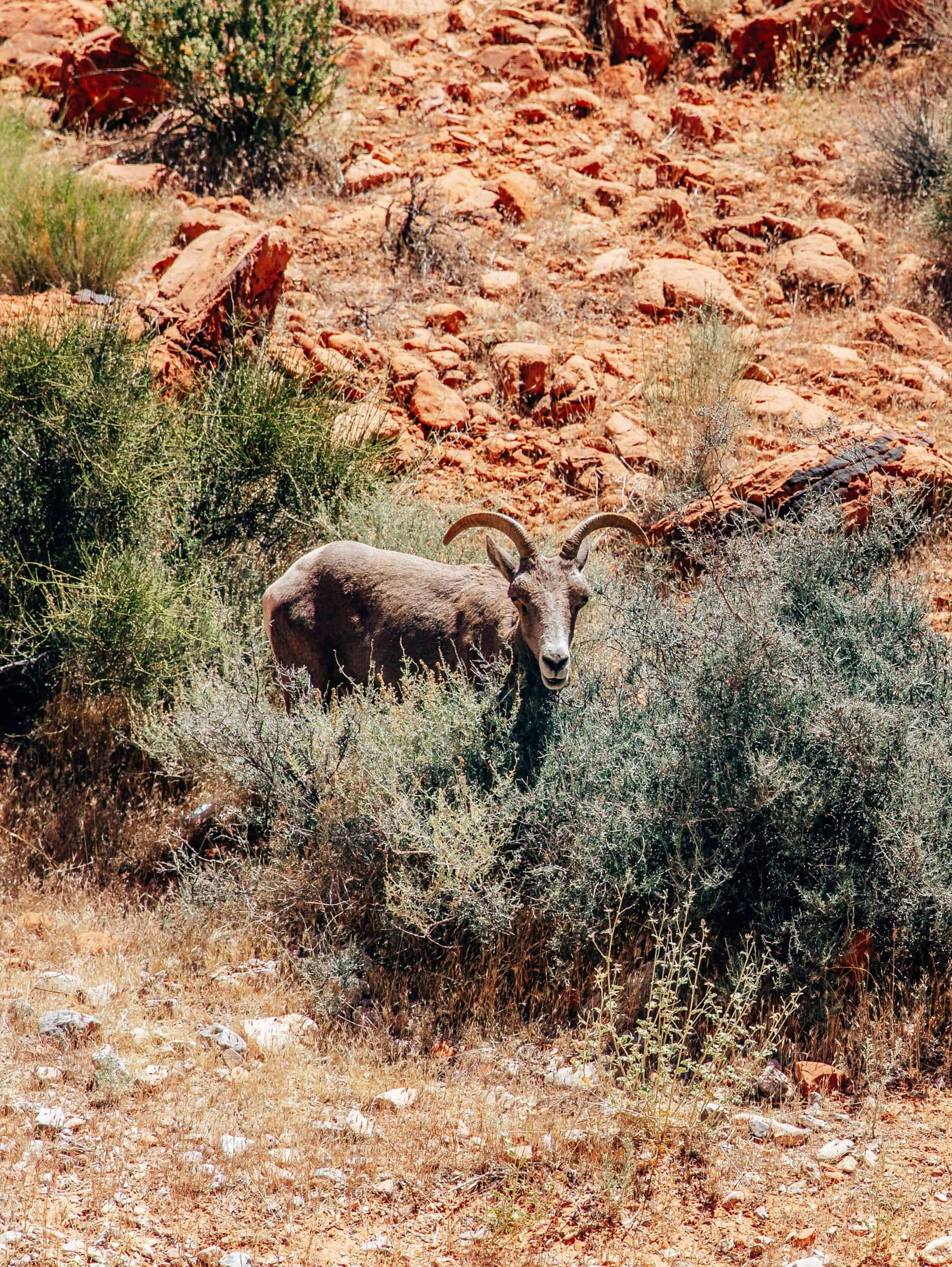 Wildlife at Valley of Fire State Park
