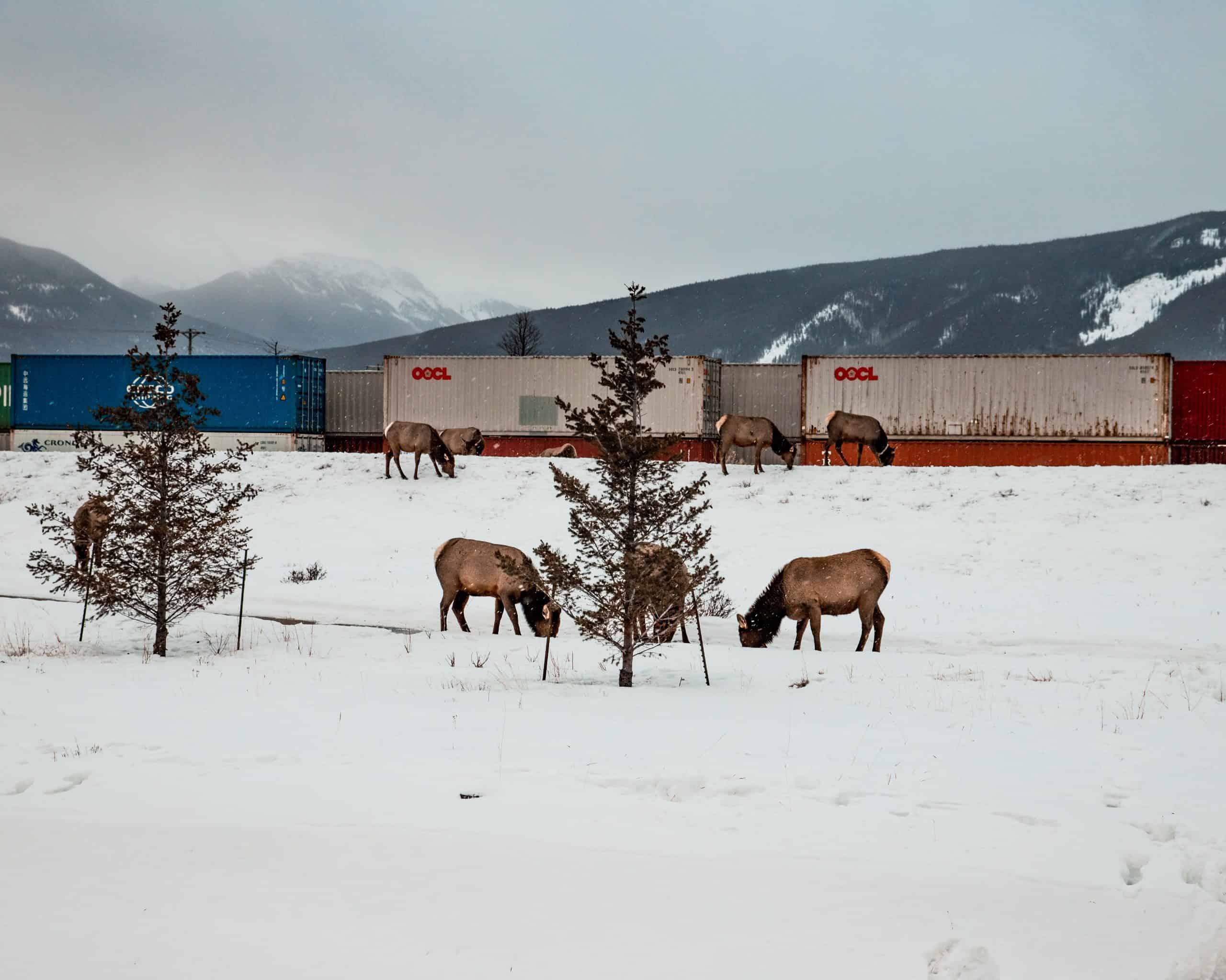 Elks in front of Canadian Rail in Jasper, Canada in Winter