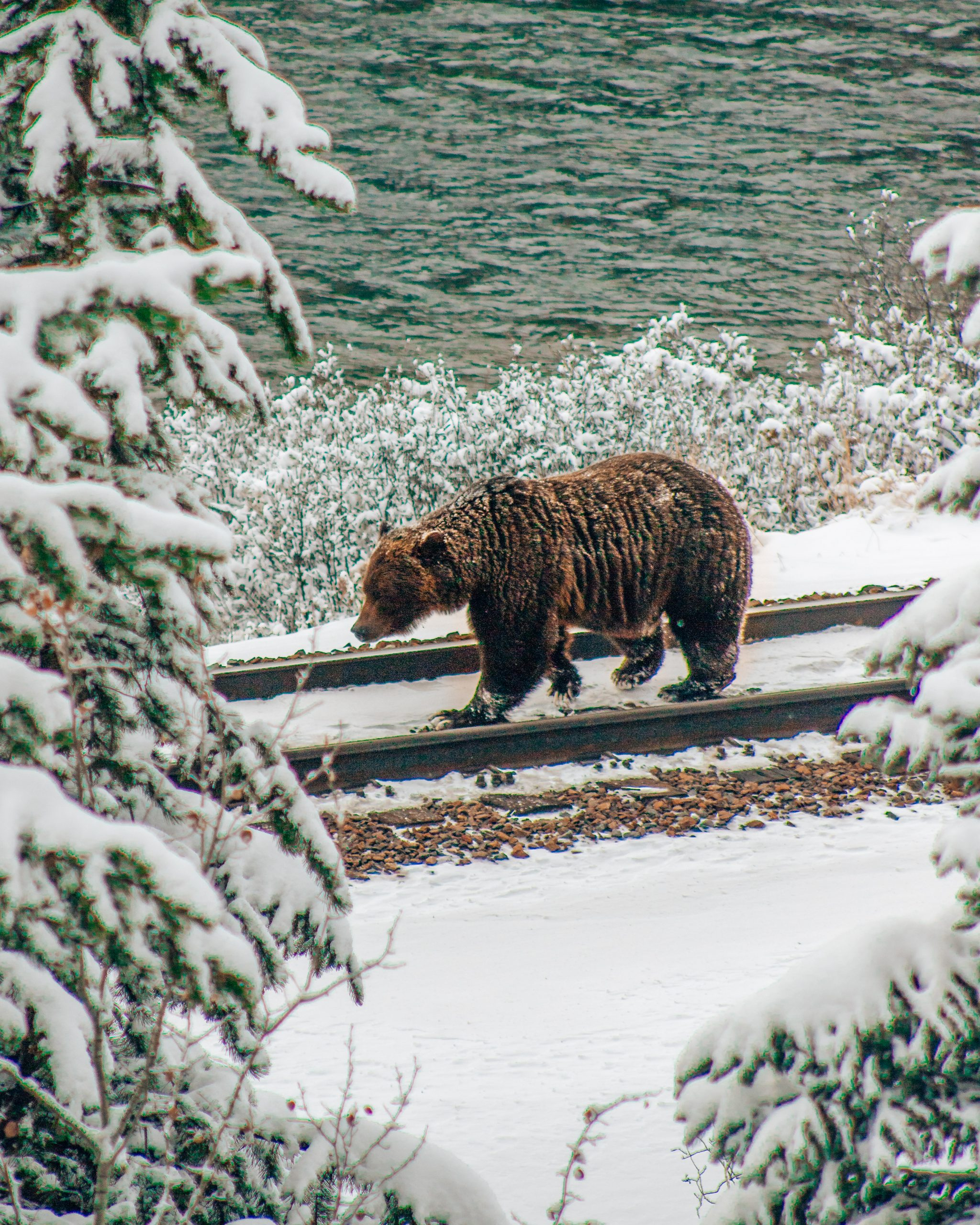 Grizzly Bear Walking on Train Tracks in Banff National Park