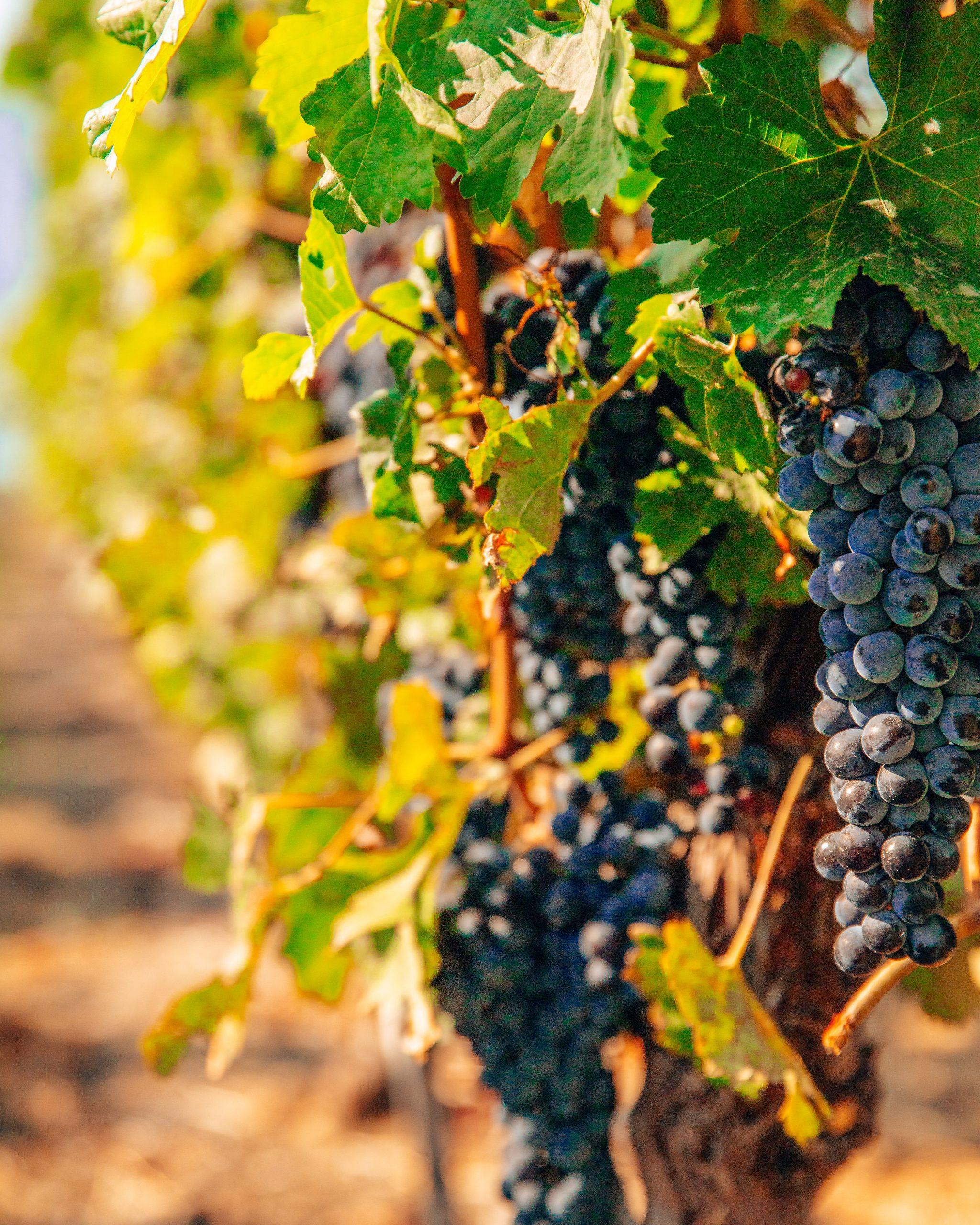 Grapes at Nk'Mip Cellars Wine Tasting British Columbia