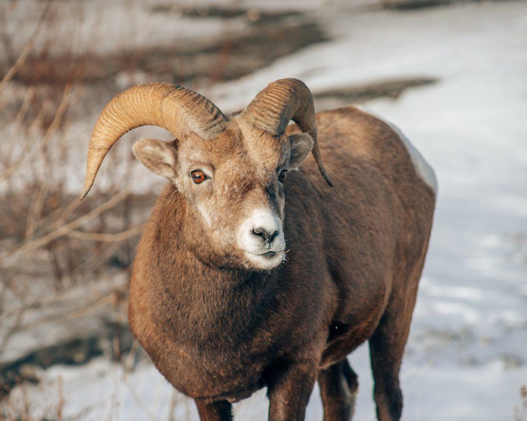 Bighorn Sheep at Abraham Lake