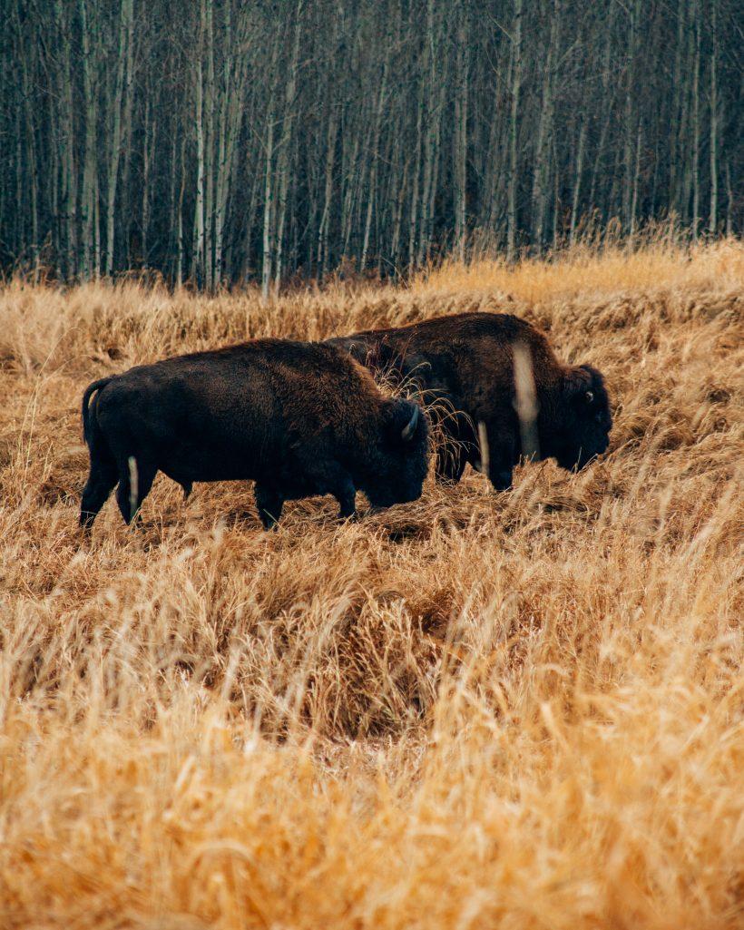 Bison in Elk Island National Park