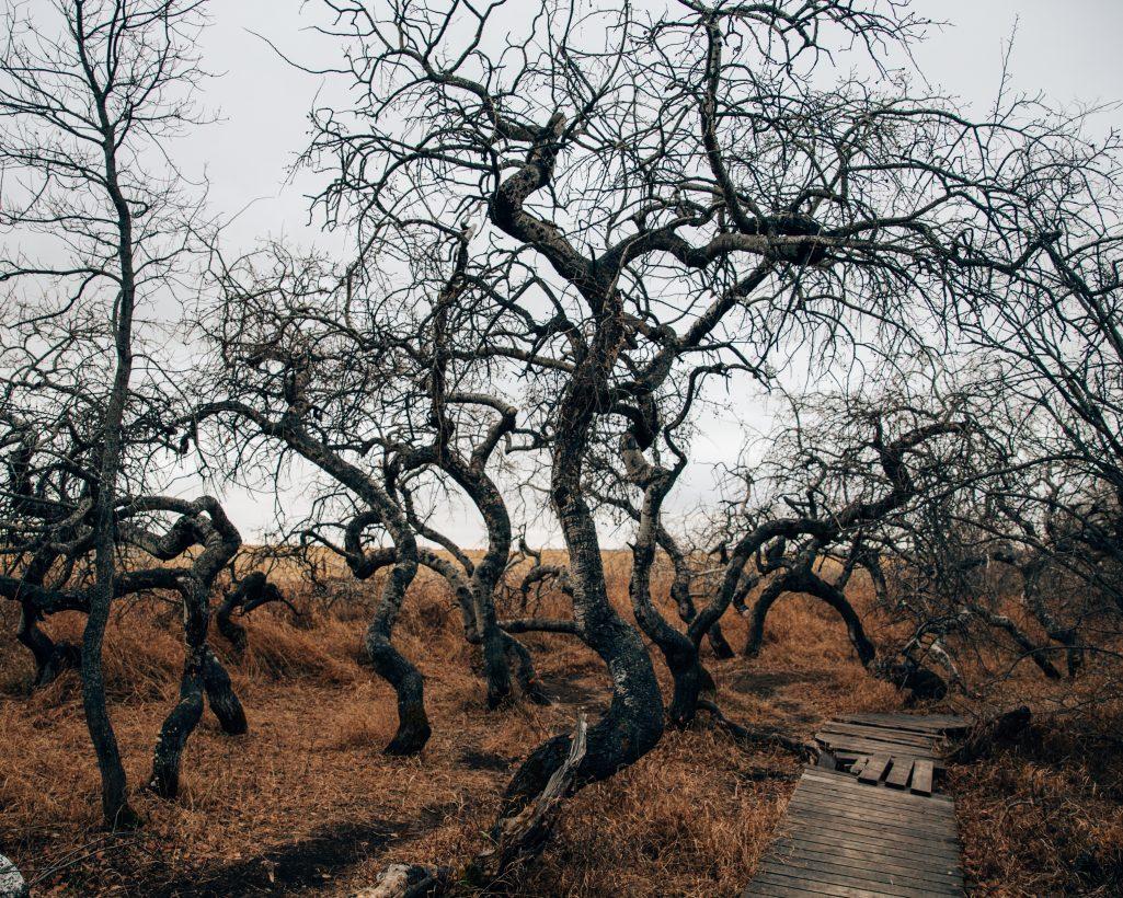 Crooked Trees Saskatchewan | Things to See in Saskatchewan