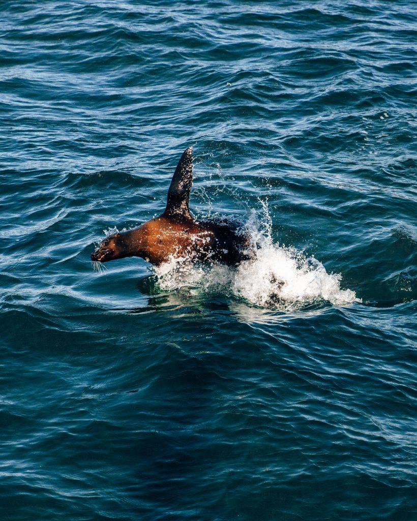 Sea Lion Hunting Fish in La Paz
