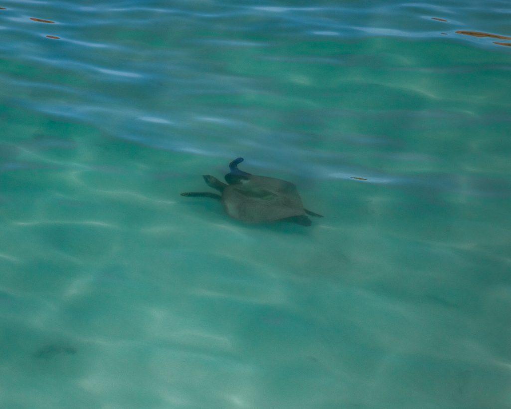 Sea Turtle on Espiritu Santo Island