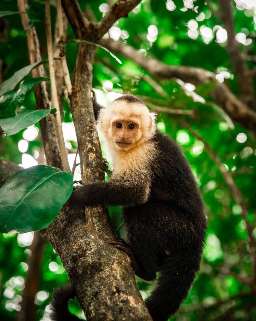 Monkey in Manuel Antonio Rain Forest