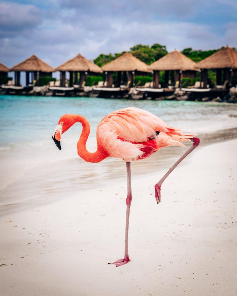 Standing Flamingo Aruba