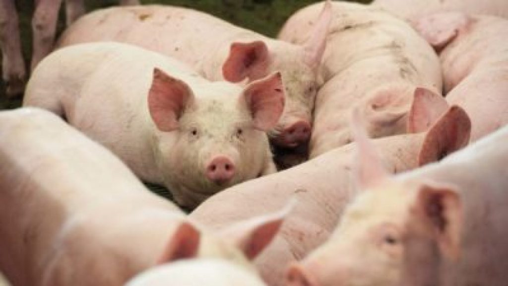 how to start pig farming in Nigeria