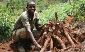 cassava farming in Nigeria