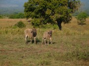 Baby Buffallo