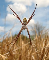 Pretty stripy orbweaver