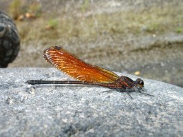 Dragonfly on the banks of a river cutting into welded andesitic ash.