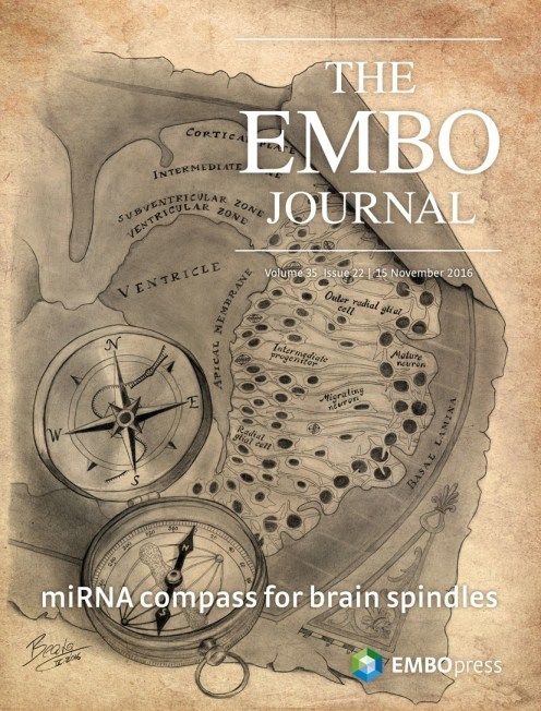 This EMBO Journal cover accompanies a paper on mammalian brain development I was involved in during my Master's Thesis. The compass represents how the angle of the mitotic spindle in dividing cells affects their ultimate position within the brain - similar to a compass guiding the way to a location on a map.