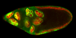 Red/green confocal image