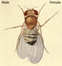 the drawing depicts a mosaic fly with male cells developing on the left side and female cells developing on the right side  [ 2425 x 2642 Pixel ]